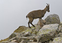 Alpine Ibex - by Henk