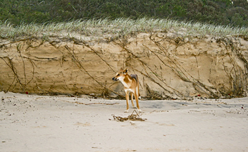 Fraser Island Great Walk: Dingo - by Gaz